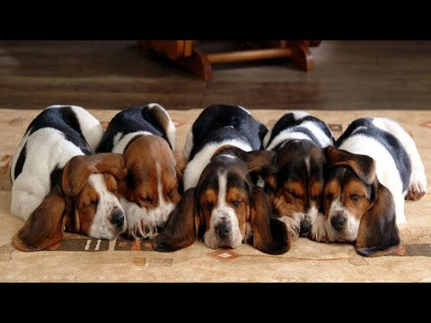 Cutest Basset Hound Puppies! Most Adorable Basset Hound Puppies Compilation!