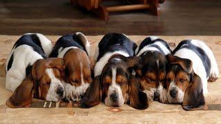 Cutest Basset Hound Puppies! Most Adorable Basset Hound Puppies Compilation!