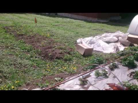 Семена помидоров Бататовые Кущи