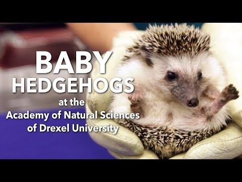 Baby hedgehogs at the Academy of Natural Sciences in Philadelphia
