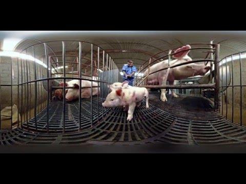 iAnimal Pigs – Narrated by Peter Egan