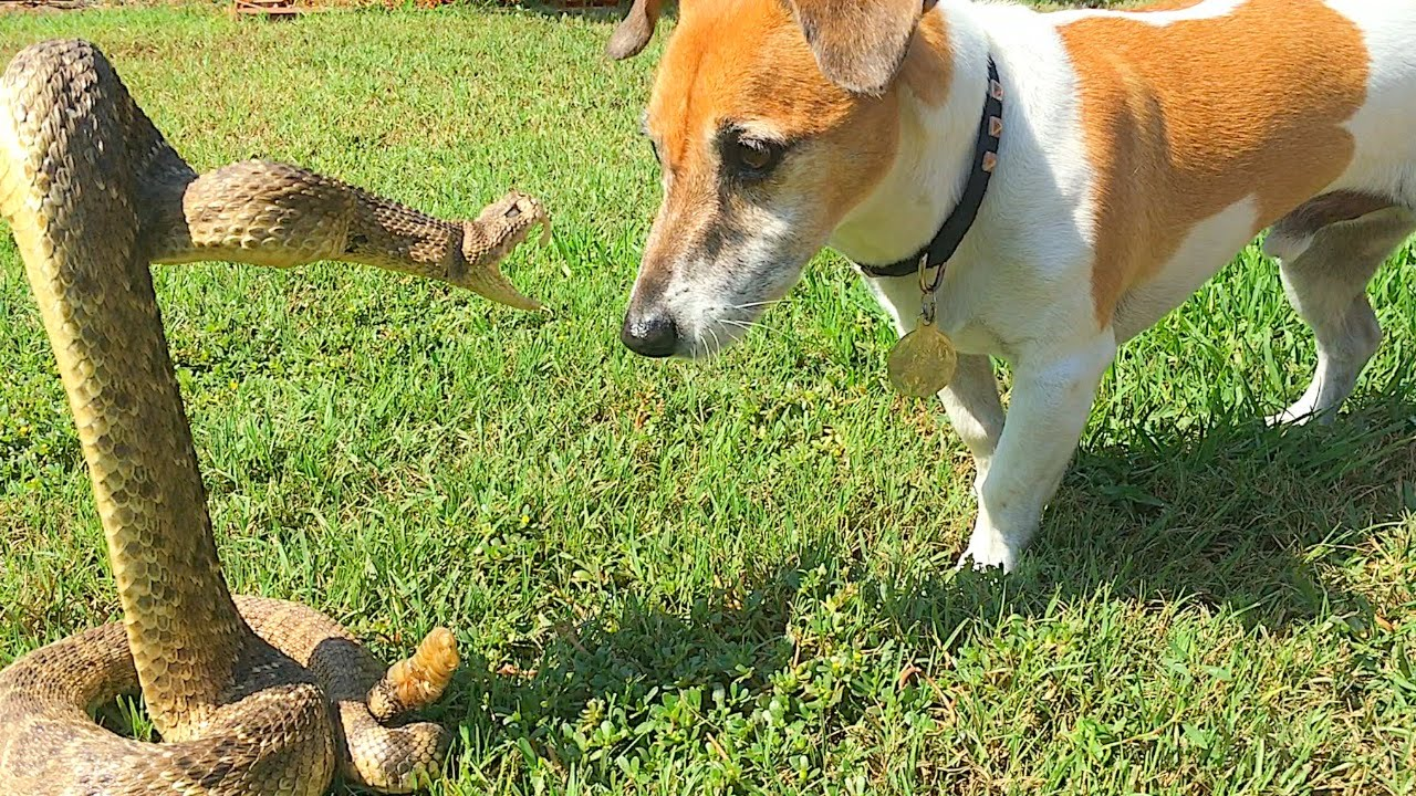 dog vs snake vs crocodile  funnydogtv