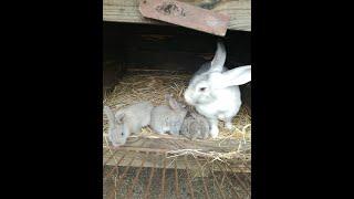 KarVlog #12 Króliki oraz obowiązki przy nich - kolejne zwierzęta w gospodarstwie.