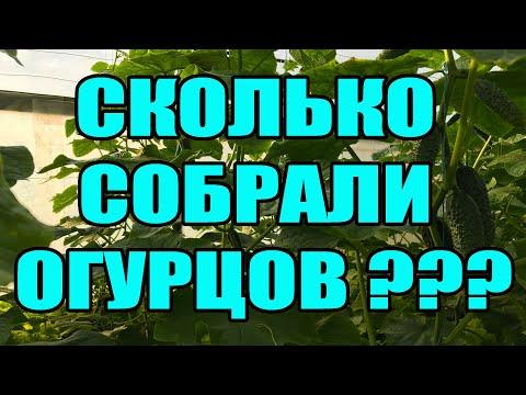Сколько собрали огурцов  с 3 соток ? Огурцы в теплице. Выращивание огурцов