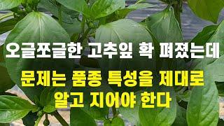 오글쪼글한 고추잎 확 펴졌는데 문제는 품종 특성을 제대…