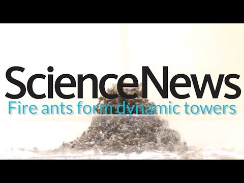 How fire ants make ant towers | Science News