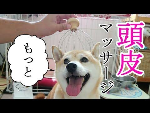 柴犬小春 【催促連発】リラックス!頭皮マッサージRelax Massage