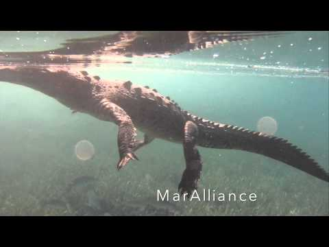 Meeting Marine Wildlife: Crocodile encounters, Cuba