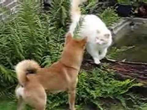 shiba inu almost dodging a cat attack