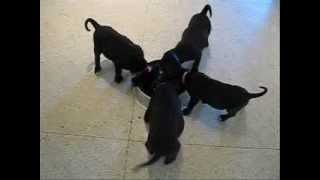 Labrador Retriever Litter Good Dog Rescue