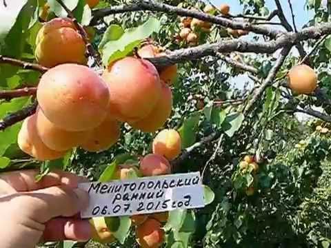 Сорт абрикоса Эрли Блуш,. - YouTube