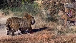 LİON vs BIG PYTHON SNAKE ►► Real Fight - ليوبارد Wild Boar Tiger - معظم هجمات الحيوانات البرية المد