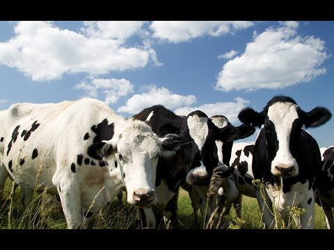 cow-free-stock-video-footage-download-full-hd