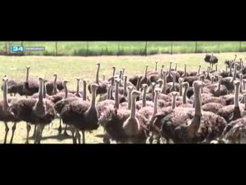 Программа Индекс безопасности о страусах