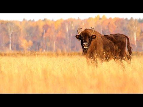 European Bison In The Autumn.