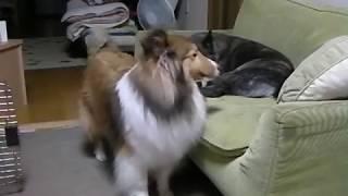 チャンネル登録お願いします甲斐犬ですが、10年前に我が家に来ました。...