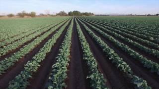 Cauliflower Yuma, AZ