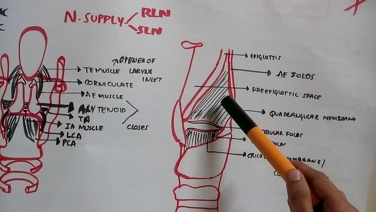 larynx anatomy outline - YouTube
