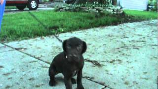 Last Female Left In Litter! German Short Haired Pointer Puppy
