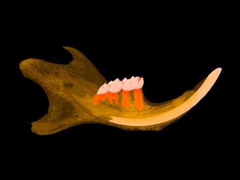 Mouse mandible (jaw) micro-CT, SkyScan - YouTube