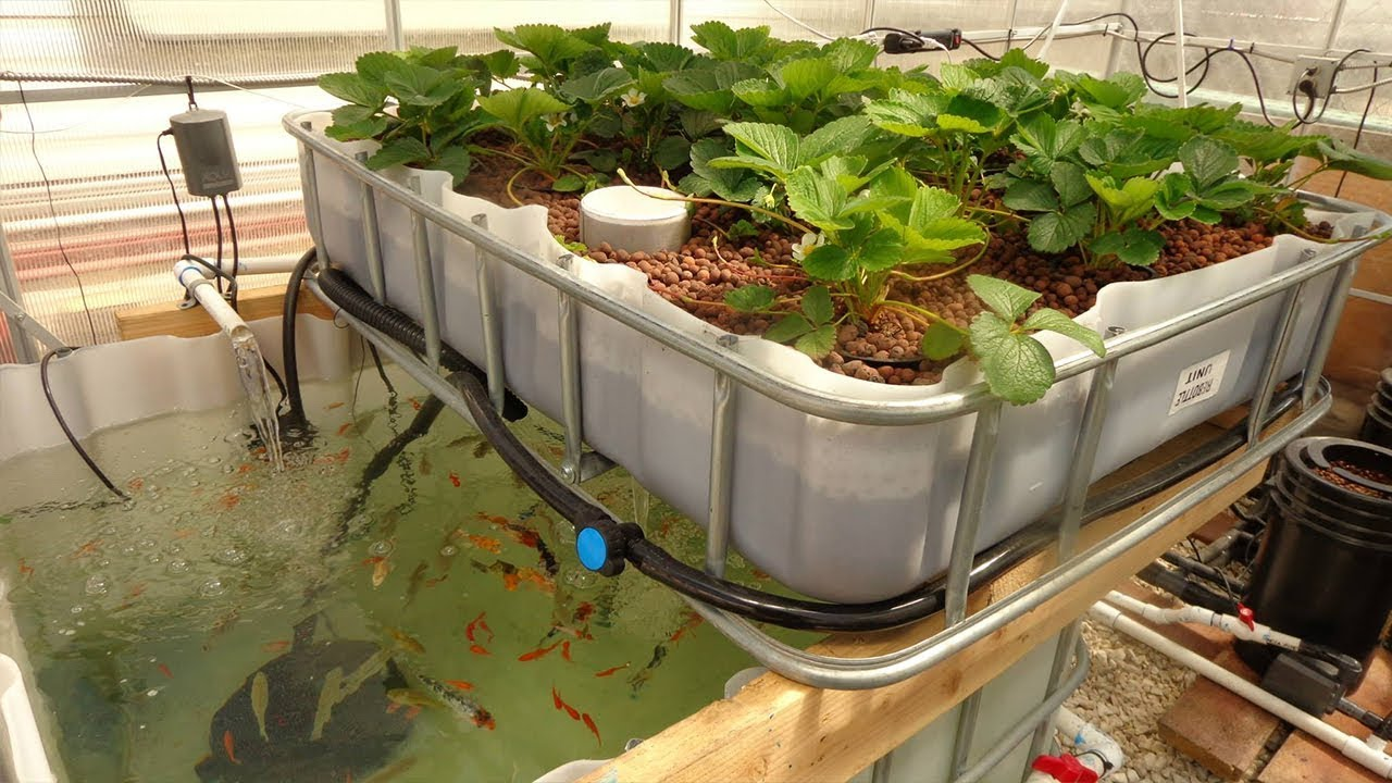 The most profitable jobs you can start with a backyard a for Koi aquaponics
