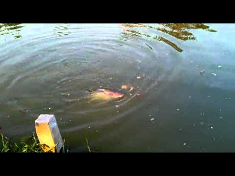 ตกปลาสวายบ่อ PN Fishing ท่าวุ้ง ลพบุรี.mpg