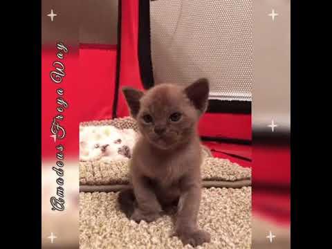Голубой бурманский котёнок Amadeus Freya Way*RU