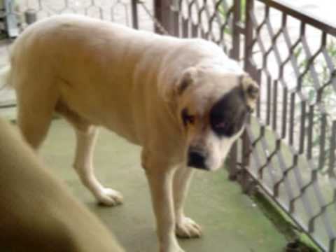 Central Asian Shepherd Dog Mixed With American Bulldog