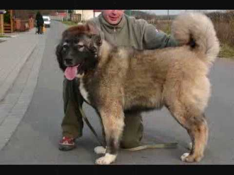 Caucasian Ovcharka Caucasian Mountain Dog Puppy Part 1 Youtube