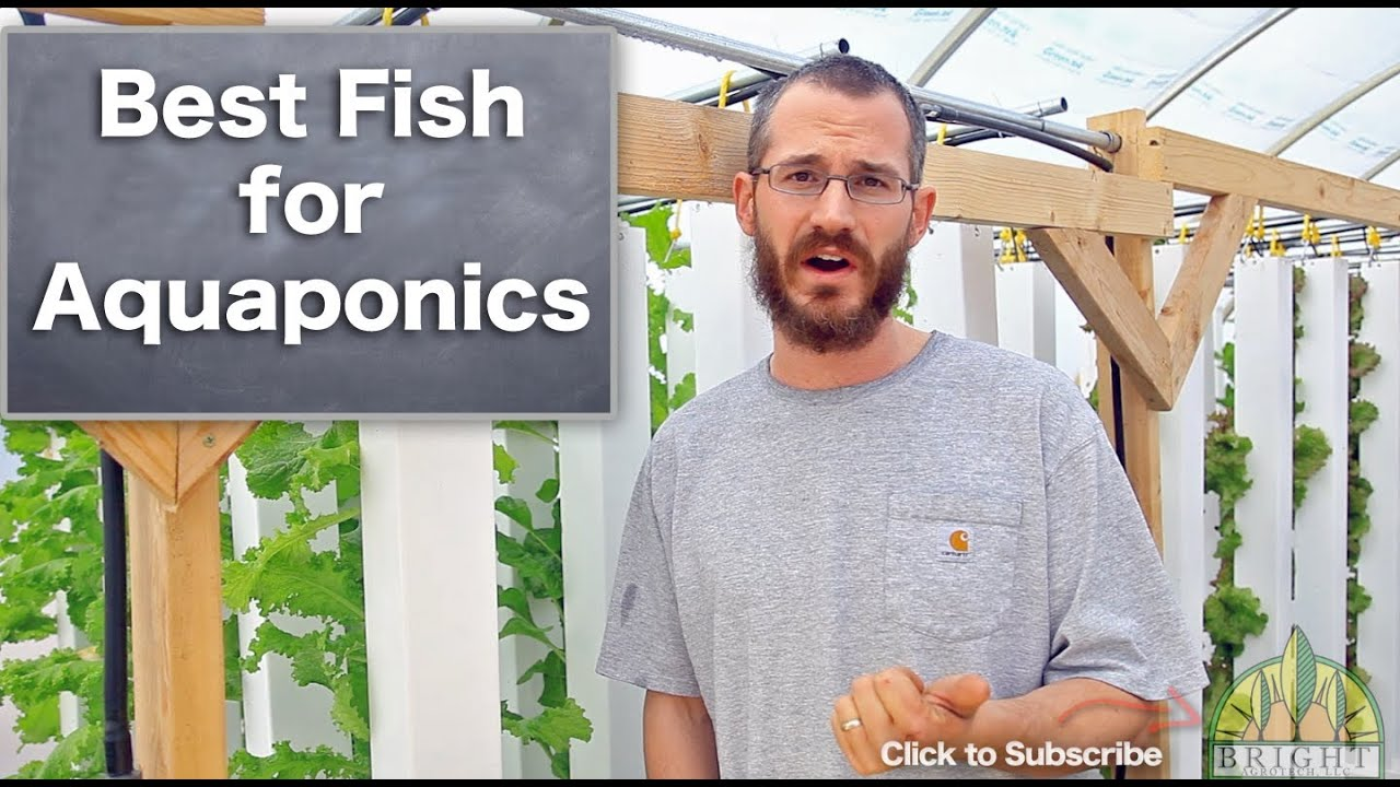 Best fish for aquaponics youtube for Fish for aquaponics