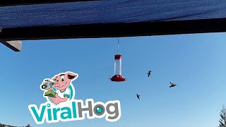 Slow Motion Hummingbirds || ViralHog
