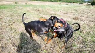 Dobermann dogs playing
