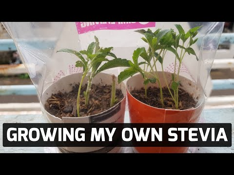 filipino-keto:-growing-my-own-stevia-plant-from-cuttings