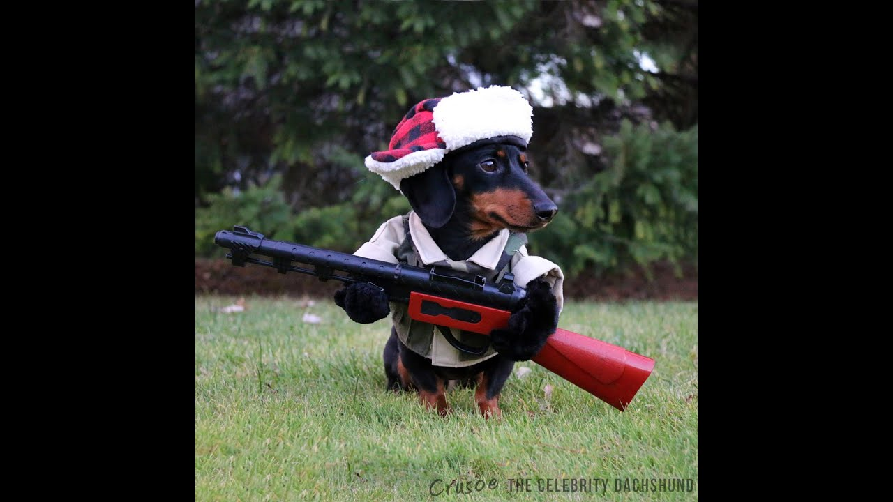 'I'mz a huntin' dog' - Crusoe Celebrity Dachshund ...