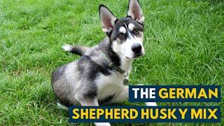 German Shepherd Husky Mix: A Pet Parent's Guide to The Gerberian Shepsky!