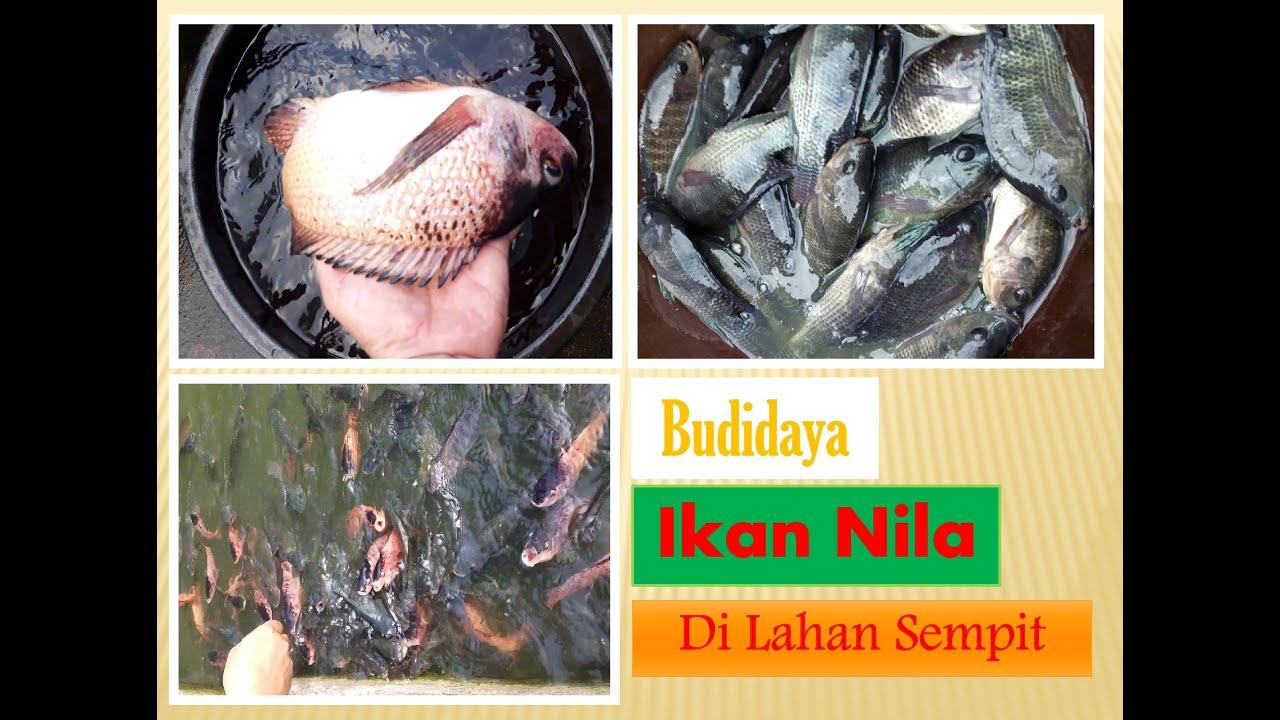 Budidaya Ikan Nila di Lahan Sempit Sekitar Rumah Tanpa ...