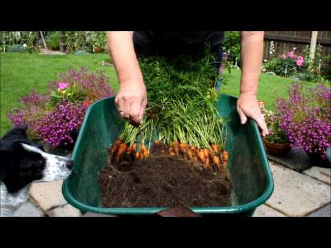 Grow Organic Carrots in small 10 inch Pots.  1st reveal of the year