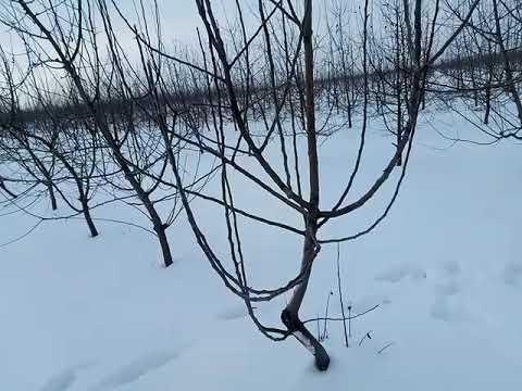Дерево подвойа ММ 106 на 5 год