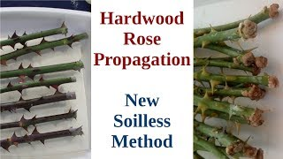 best way to propagate roses