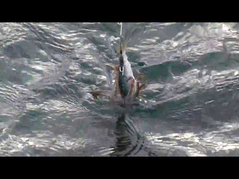 活けイワシなら低水温でもアオリイカが釣れる