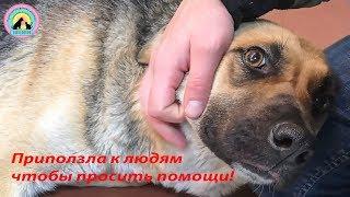Собака призрак появилась ночью Приползла к людям за помощью We are going to rescue dog