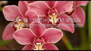 Секрет Чесночной Воды. Профилактика и Стимулирование Цветения Орхидей 🌸