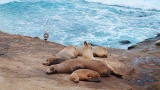 Морские котики  из Сан-Диего - Макс Листов в мире животных
