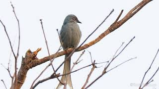 Ashy drongo  - Birdwatching Northern Thailand