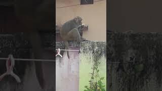 Monkey eating bread sit on wall