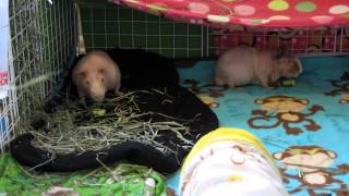 How To Tame Your Guinea Pigs! Tips & Tricks I Use!
