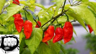 Top 10 Peppers With Highest Scoville Value