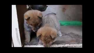 四国犬 H24.10.20生まれ 赤胡麻・メス 可愛い盛りの姉妹です。...