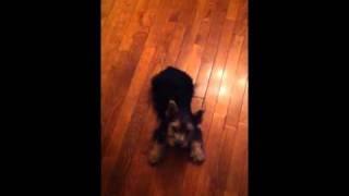 Norwich Terrier Puppy Learning Tricks