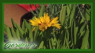Tried and True Perennials   Volunteer Gardener